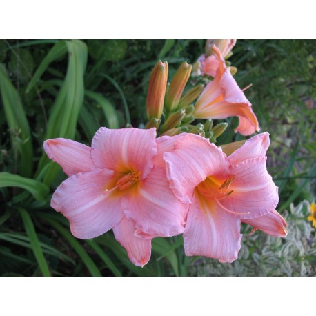 Лилейник Hall's Pink